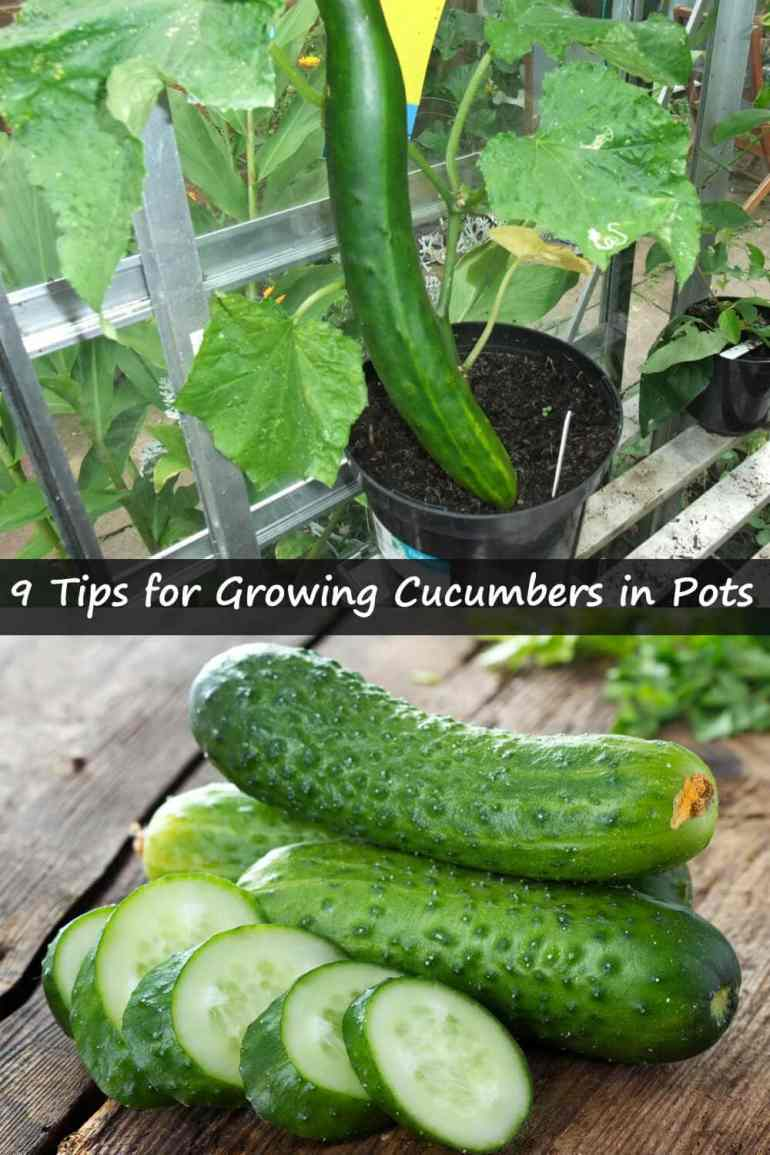 9 Tips for Growing Cucumbers in Pots