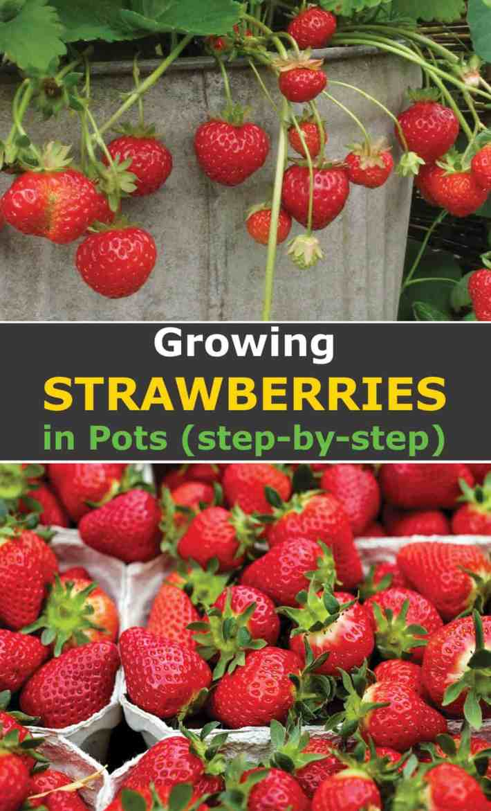 Growing strawberries in pots step by step