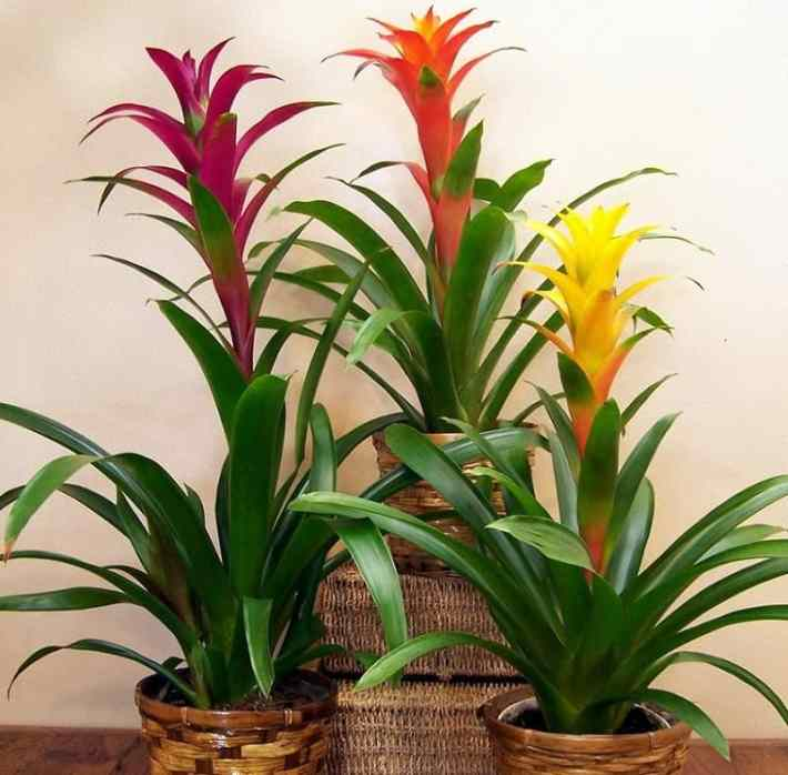 Indoor flowering plants - bromeliad