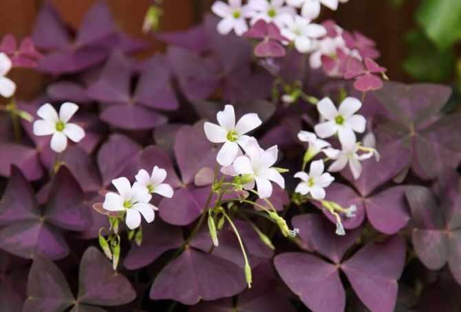 Indoor flowering plants - oxalis
