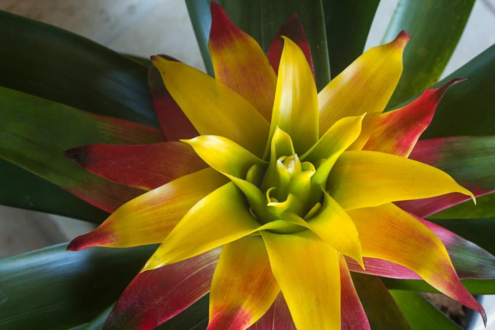 everything to know about bromeliads care