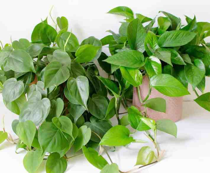 Philodendron vs Pothos