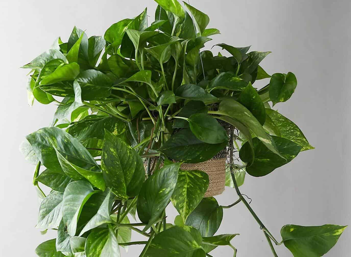 Pothos Plant Care: The Complete Beginners Guide (with pictures)