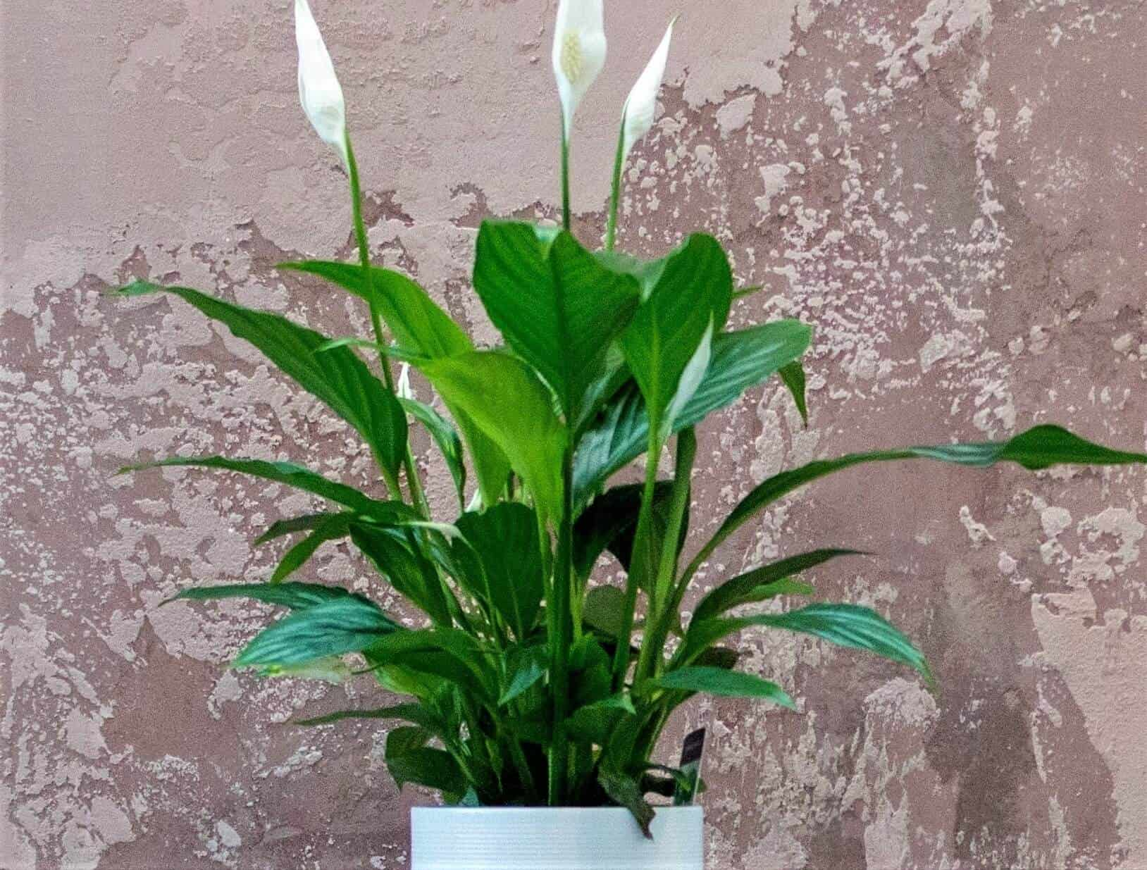 Brown Tips on Peace Lily