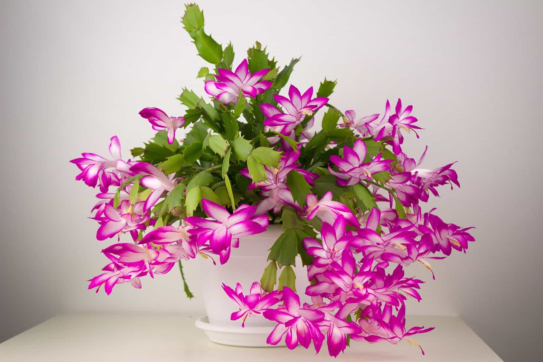 The Definitive Guide to Christmas Cactus Care