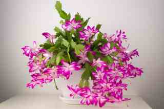 christmas cactus care detailed guide