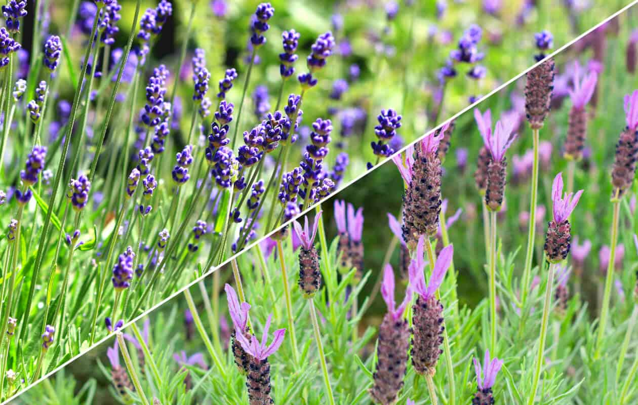 English lavender vs French lavender: 13 Distinct Comparisons