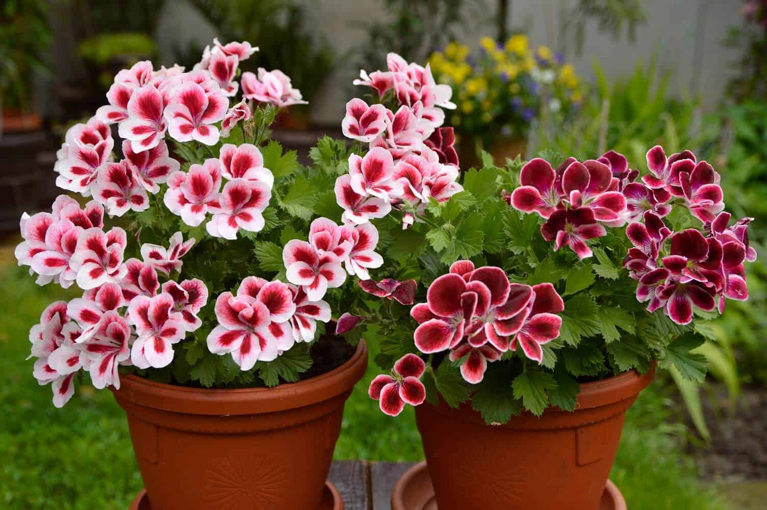 Geranium Care: How to Grow and Care for Geraniums in Pots