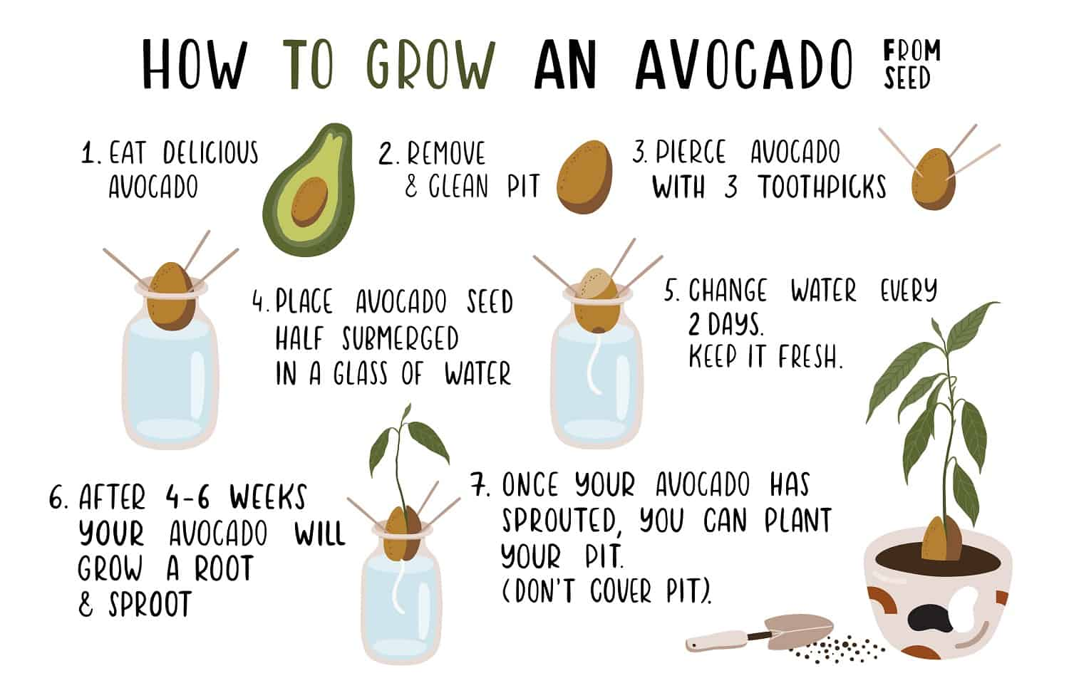7 Easy Steps on How to Grow Avocado from Seed