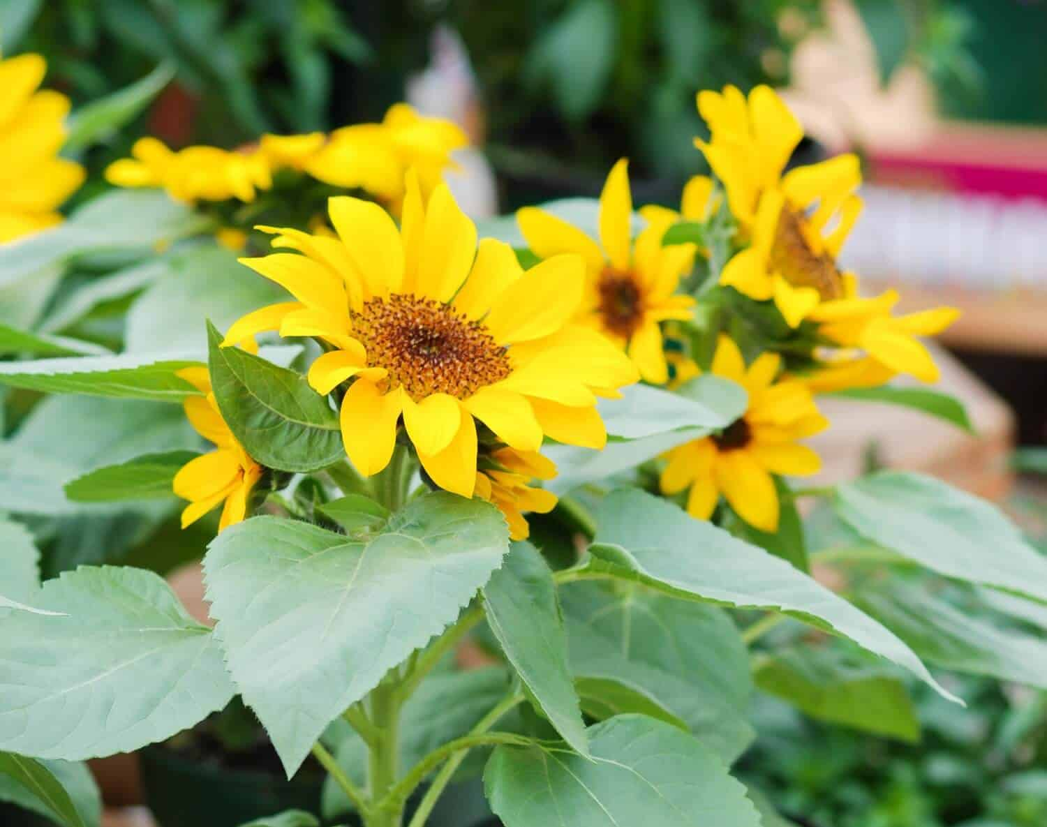 How to Grow Sunflowers from Seeds and Cuttings