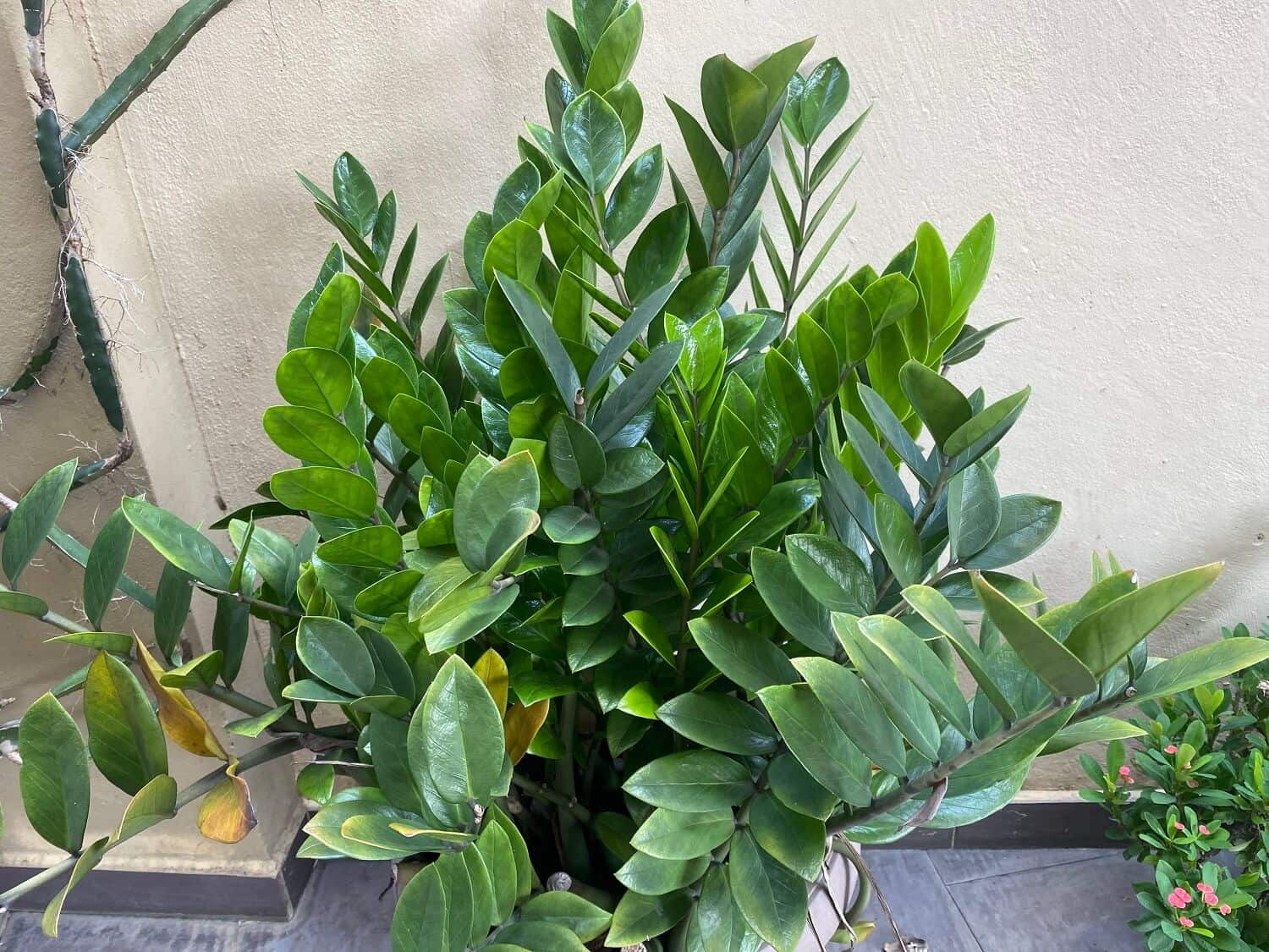 ZZ Plant Turning Yellow? Here are the Causes & Solutions