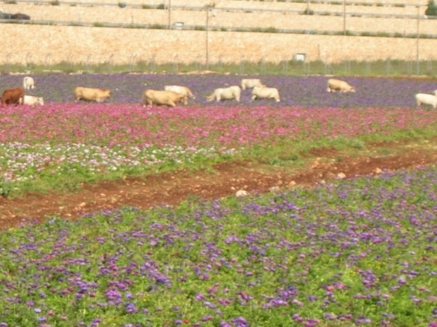 בארץ ישראל הפרות אוכלות כלניות.