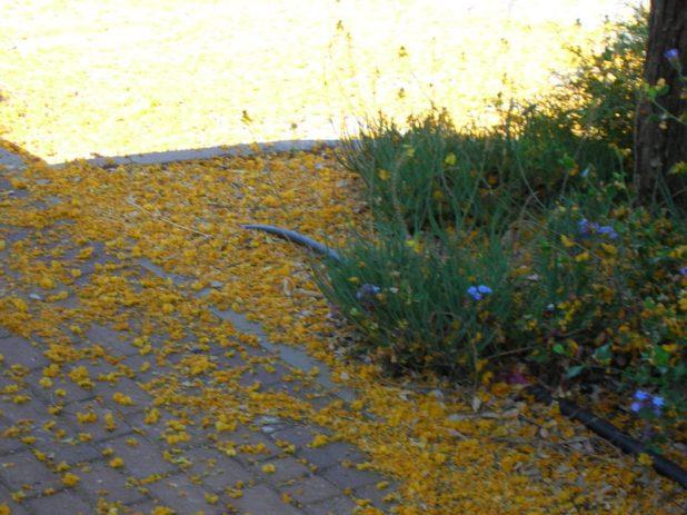שלג צהוב ביוני - איך קוראים לעץ הזה?