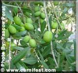 Olive_branch_days
