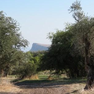 עצי זית של כפר חיטין