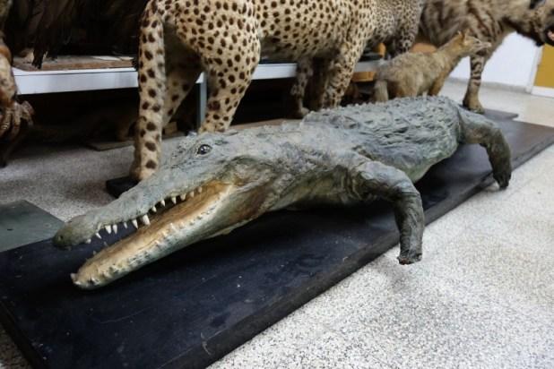 התנין האחרון מנחל תנינים מאוסף שמיץ (כיום באוניברסיטת תל אביב) צילום: מיכאל יעקובסון