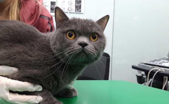 Simba: un gato con cardiomiopatía hipertrófica