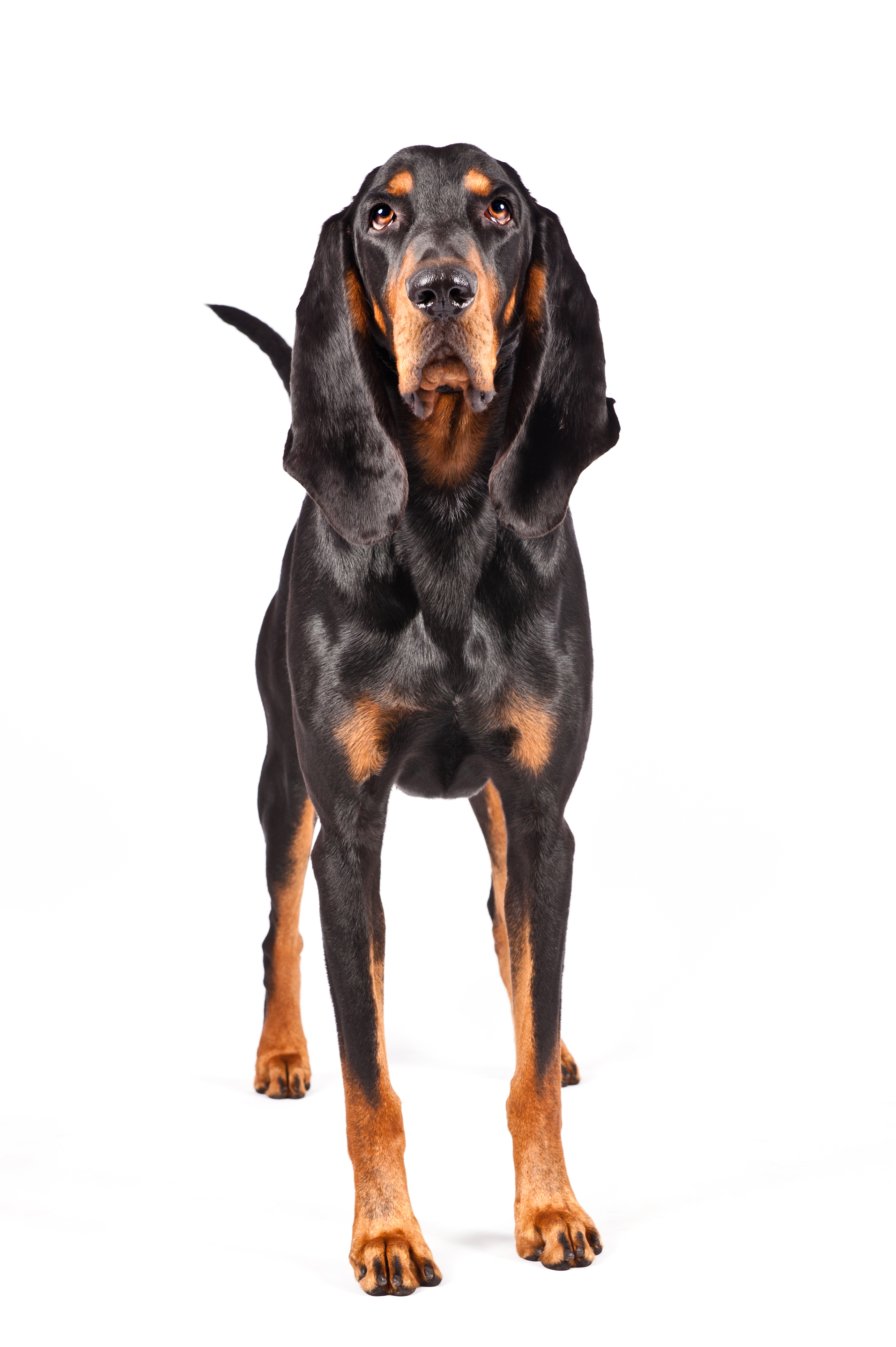 Dog of the Day  Black and Tan Coonhound  Hot Dog Pet Photography