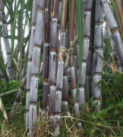 canadeacucar-madeira