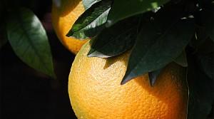 Naranjas de Sóller