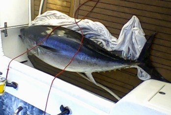 126 kg bluefin tuna charter capture