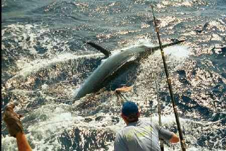 big black marlin