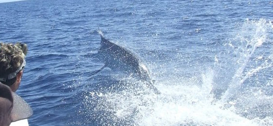 750 pound blue marlin 12 mile reef bermagui