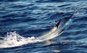 marlin fishing charters bermagui
