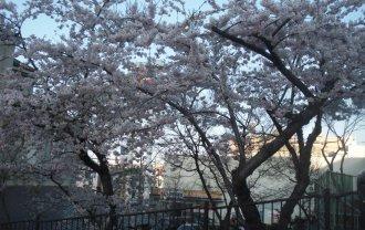 桜(末広町)
