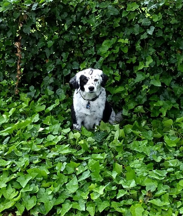 Houdini in the ivy patch