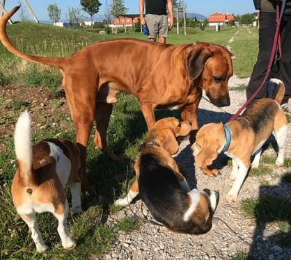 Alma lernt beim Besuch auch einen großen Freund ihrer Beagleverwandtschaft kennen ;)