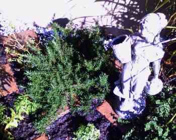 A picture of the Rosemary in my herb garden