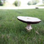 A couple of mushrooms in the front yard