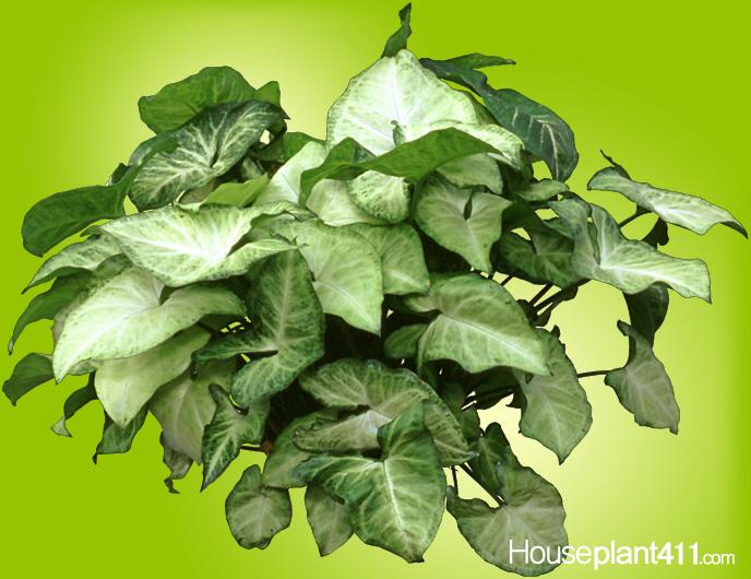 Arrowhead Plant  How to Grow Care  Nepthytis