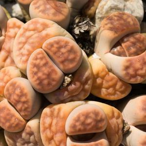 Lithops fulleri living stones plant