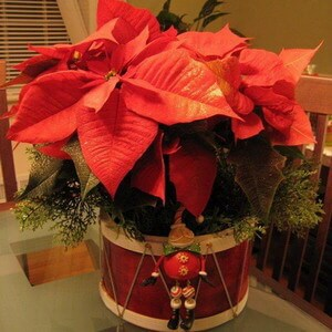 Poinsettia Christmas house plant picture