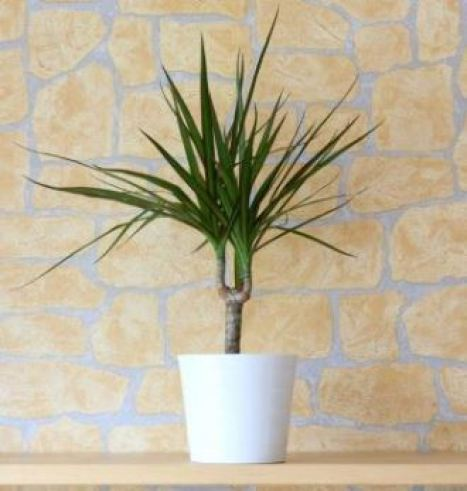 Image result for the dragon tree