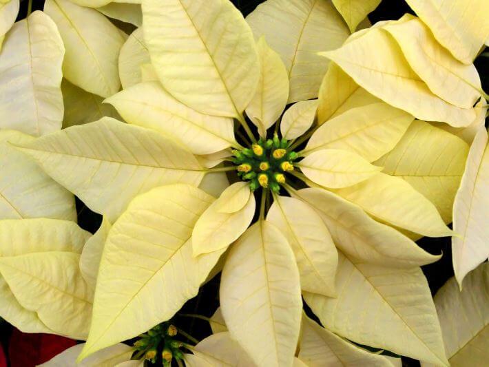 Poinsettia Plant  Euphorbia Pulcherrima