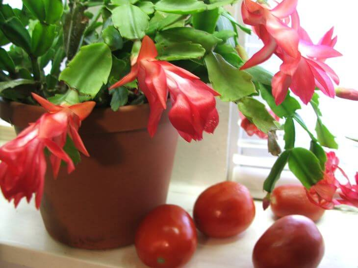 Christmas Cactus  Schlumbergera Bridgesii  Description And Care