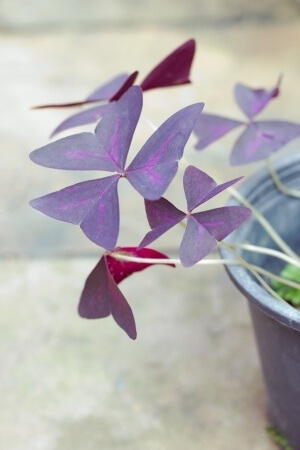 False Shamrock Plant  Oxalis Triangularis  Growing and