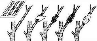 اود ان استفسر عن شجرة الفيكس افيدوني