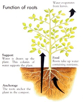 The Function of Roots