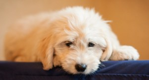"""Dolly""- our cream goldendoodle"