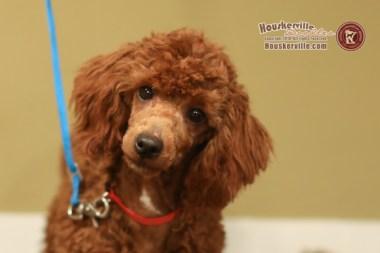 """""""King Bruno"""" - AKC Mini Poodle"""