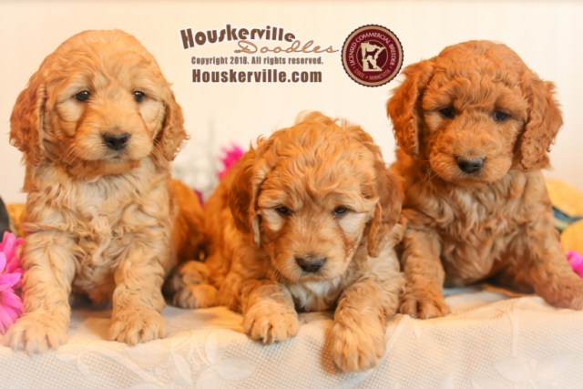Houskerville Doodles – Specializing in raising family-friendly Mini