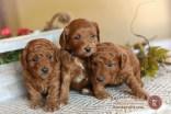 F1B Petite Goldendoodles