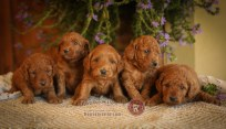 F1 Mini Goldendoodles