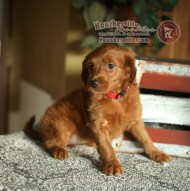 """Raina"" F1 Mini Goldendoodles"