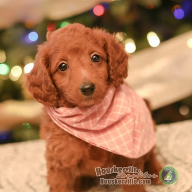 """Olivia"" - F1B Petite Goldendoodle AVAILABLE"