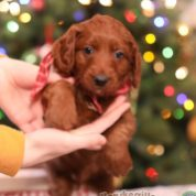 """Ralph""-F1B PETITE GOLDENDOODLE AVAILABLE"